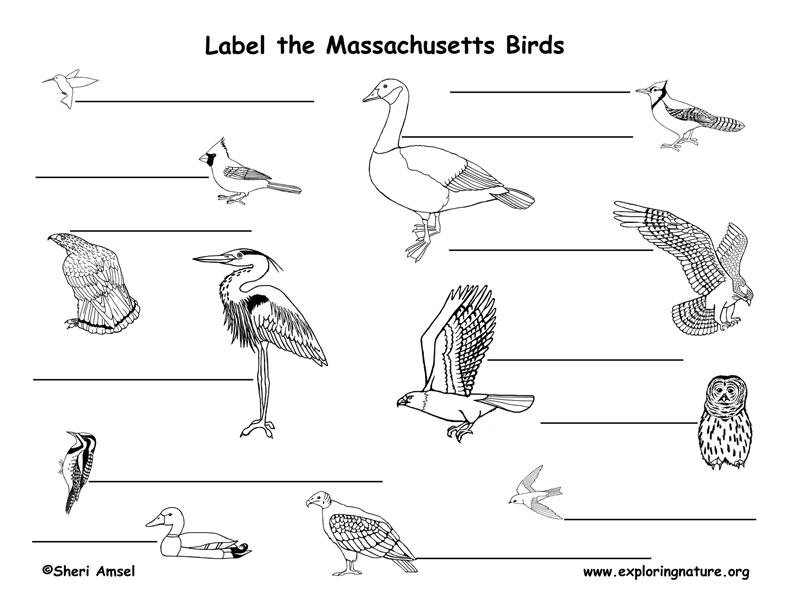 Massachusetts birds labeling