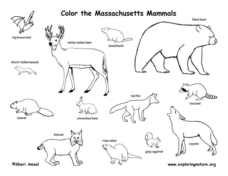 Massachusetts mammals coloring