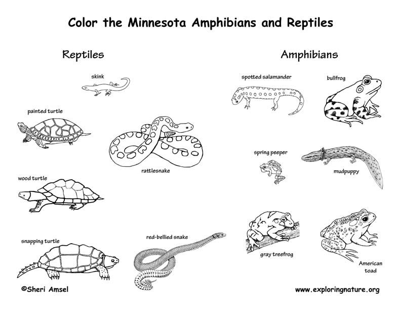 Minnesota amphibians and reptiles coloring