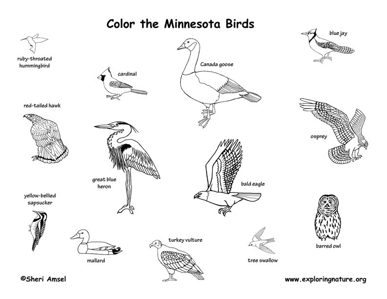 Minnesota birds coloring