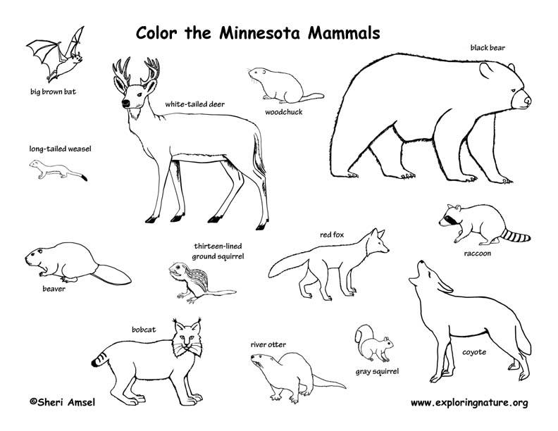 Minnesota Habitats, Mammals, Birds, Amphibians, Reptiles Mammals Clipart Black And White