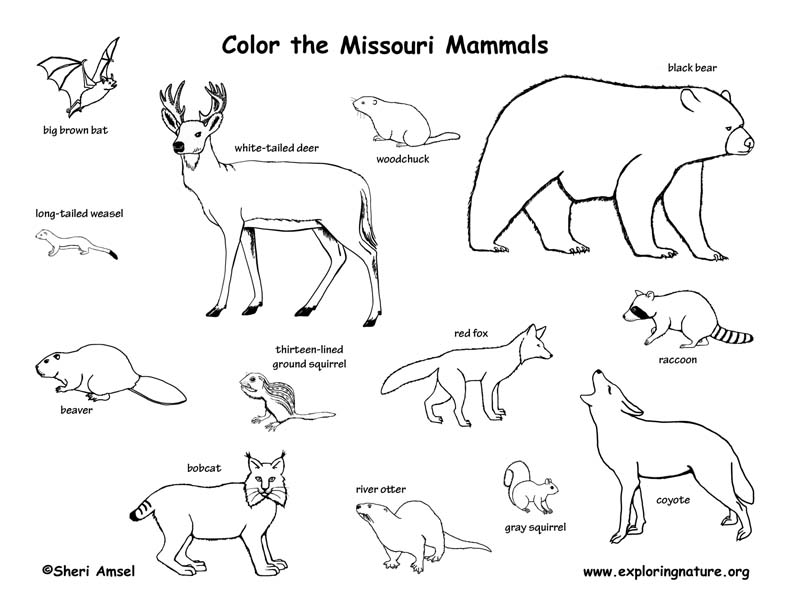 Missouri mammals coloring