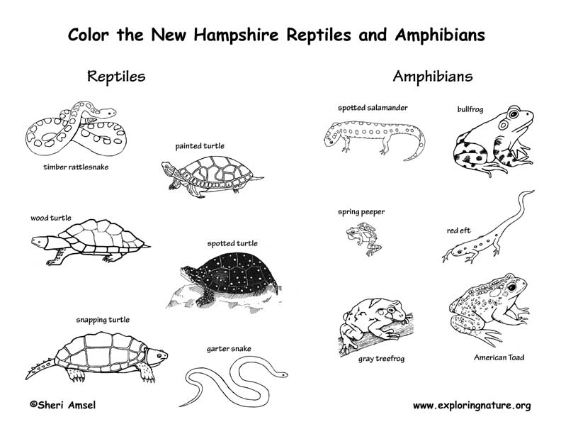 New Hampshire Amphibians and Reptiles coloring