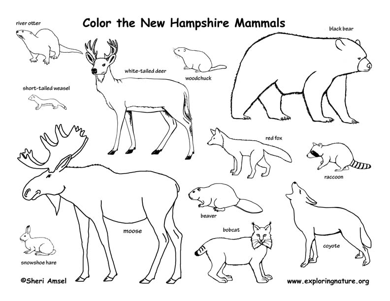 New Hampshire mammals coloring