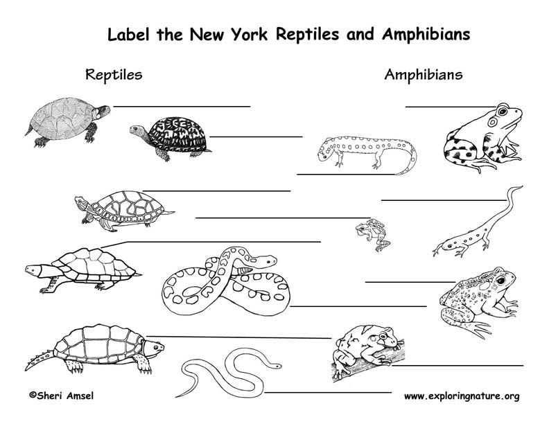 New York Amphibians and Reptiles labeling