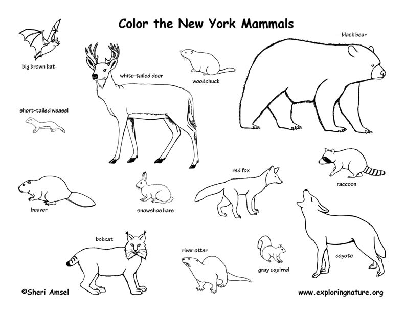New York mammals coloring