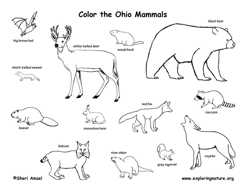 Ohio mammals coloring page