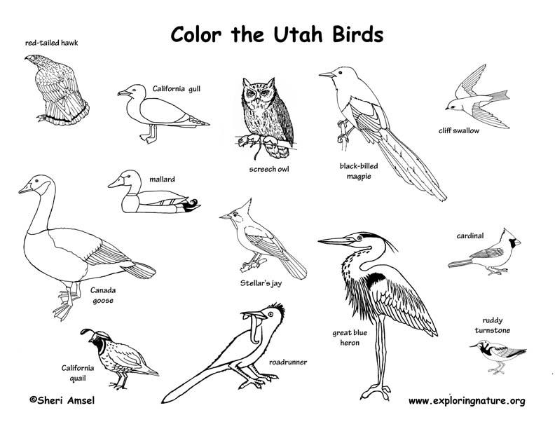 Utah Birds coloring