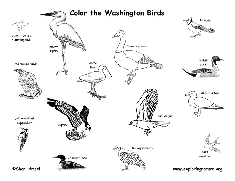 coloring birds of this state washington