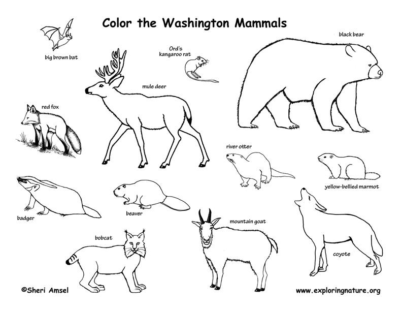 Coloring Mammals of this State  Vertebrates Mammals Drawing