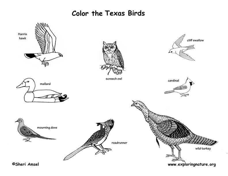 Coloring Birds Of This State Texas