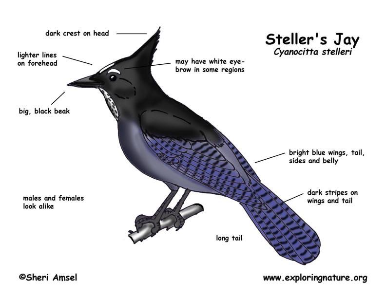 Jay (Steller's)