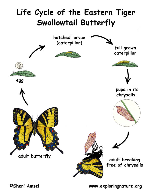 Swallowtail Butterfly Life Cycle Illustrated and Labeled
