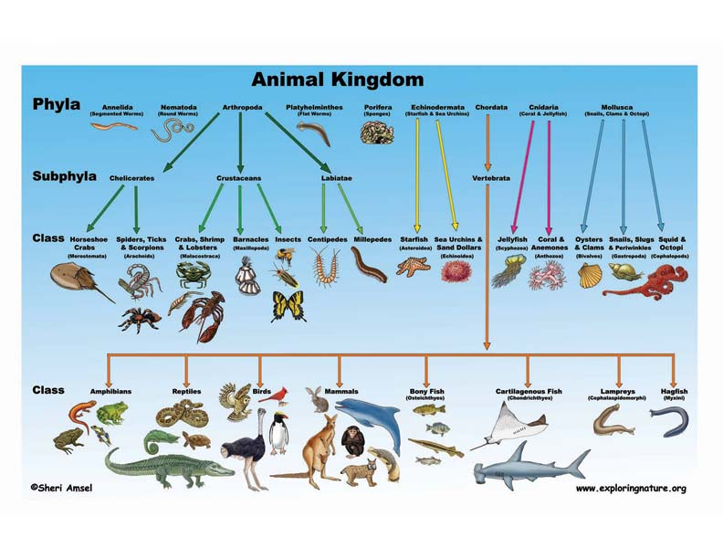 classification of living things animal A webquest for 6th grade science a man named carl linnaeus created the system by which we classify living things this classification system is called the ' kingdoms of living things' or the 'linnaean classification ninety-five percent of the animals living today are.