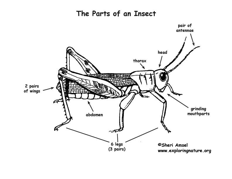 Learning About Insects Lecture Rh Exploringnature Org Insect Body Parts Coloring Page Of An