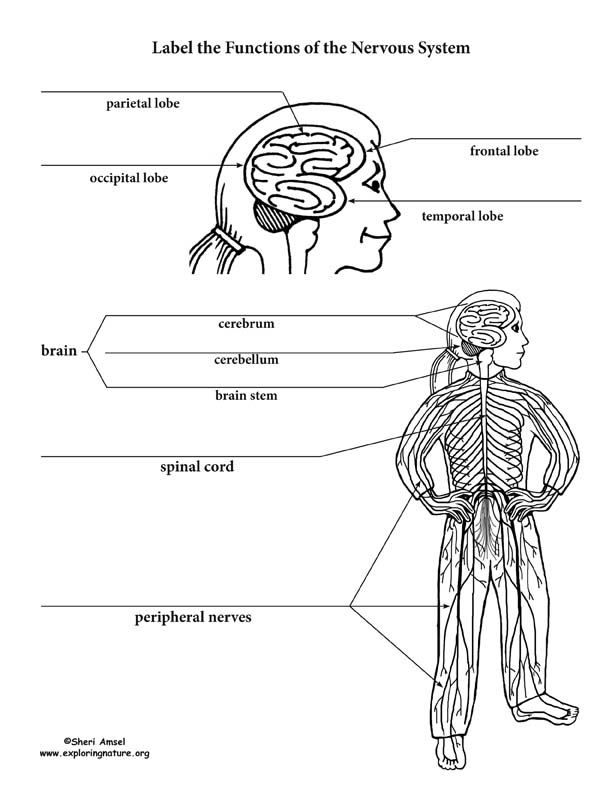 Nervous System Parts and Functions Labeling Page