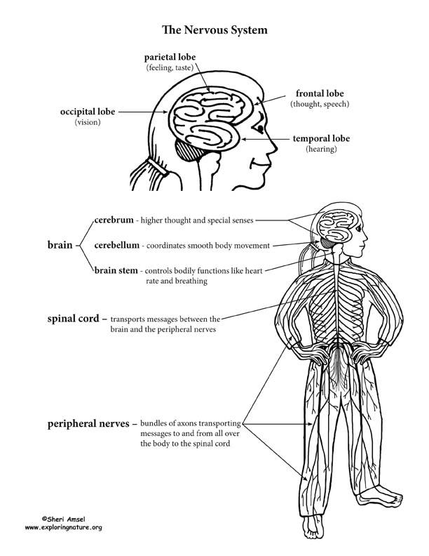 nervous system for kids worksheets breadandhearth. Black Bedroom Furniture Sets. Home Design Ideas