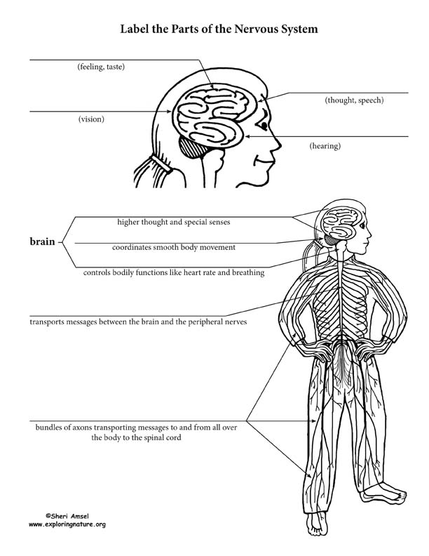 nervous system structure and function labeling activity