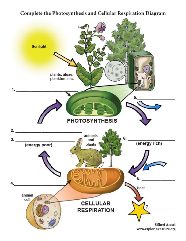 Photosynthesis and Cellular Respiration Diagram Labeling ...