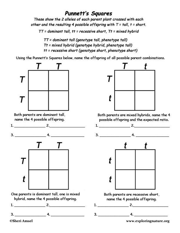 Punnetts Square to Show Mendels Genetics Discoveries – Four Square Worksheet