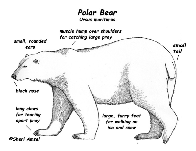 panda bear diagram