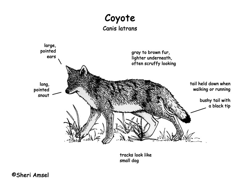 diagram of a coyote coloring pages sketch coloring page