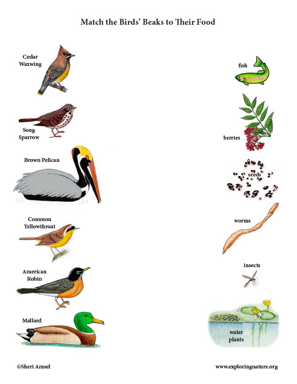 Match the Birds' Beak to Their Food (Color)