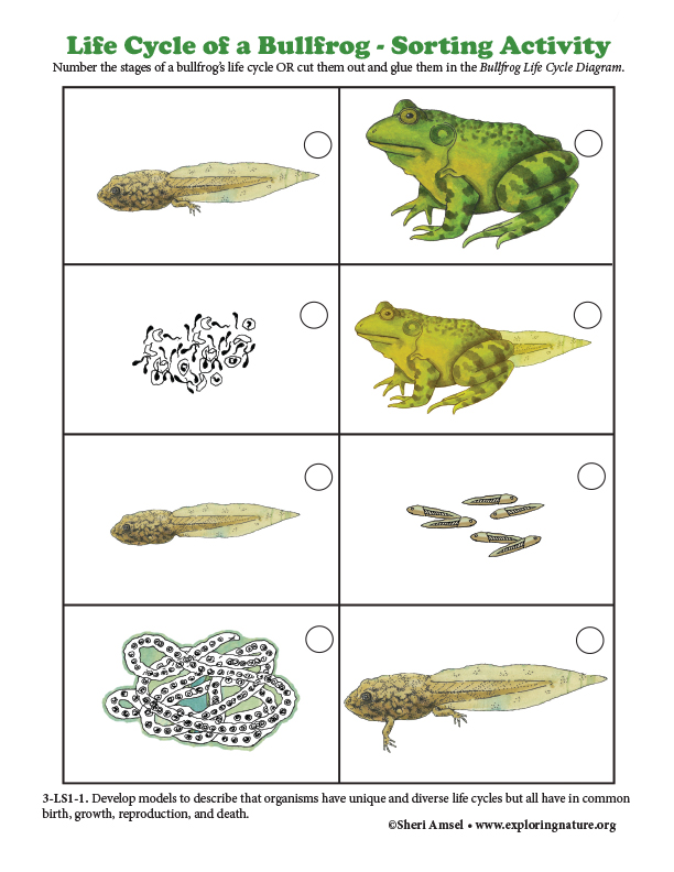 Bullfrog Life Cycle - Sorting Activity (Color)