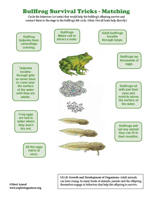 Bullfrog Survival Tricks - Life Cycle Matching