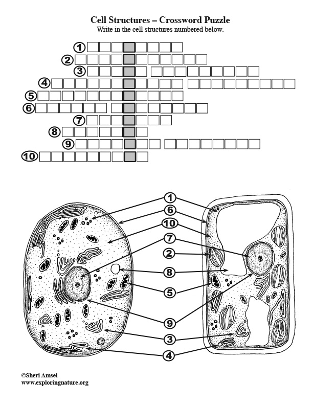 Cell Structures Crossword Puzzle