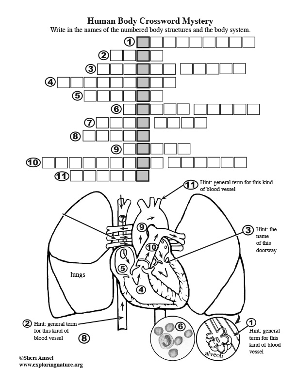 Body Structures Crossword Puzzle - Circulatory System