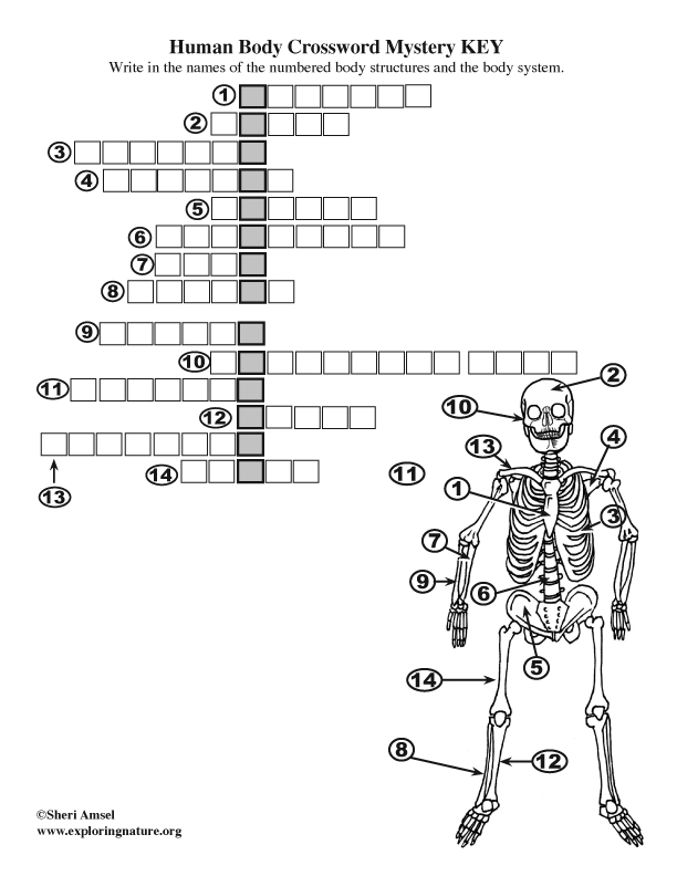 Body Structures Crossword Puzzle - Skeletal System
