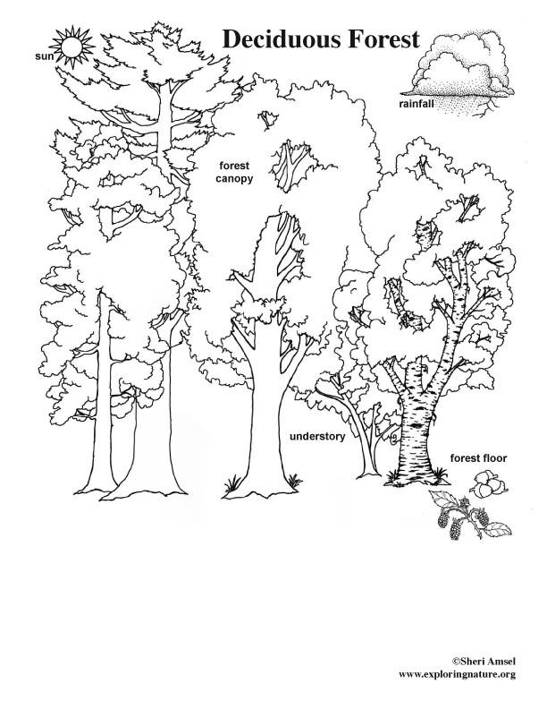 Animals in their deciduous forest Habitat activity