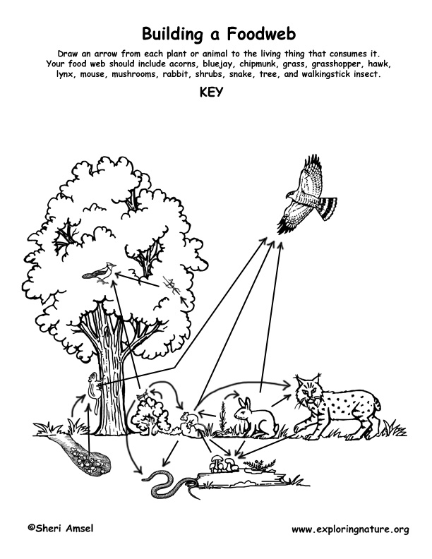 Food web in a rainforest new calendar template site for Food web coloring pages