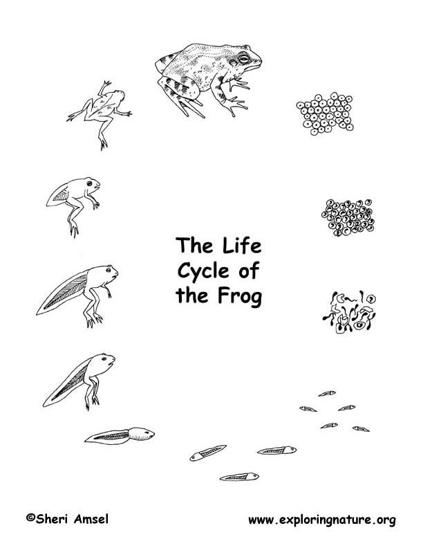 Frog life cycle eggs - photo#8