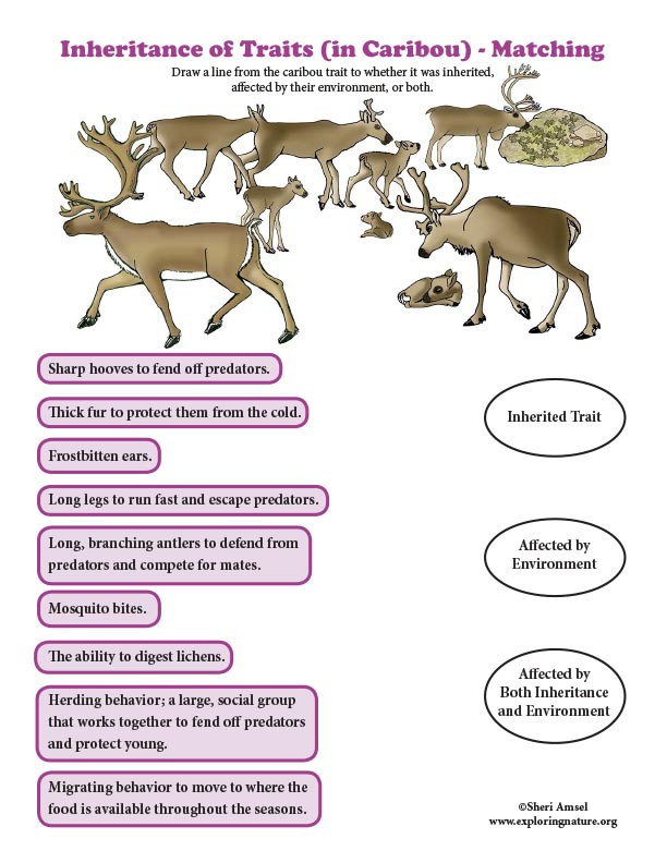 Inheritance of Traits (in Caribou) - Matching , heredity