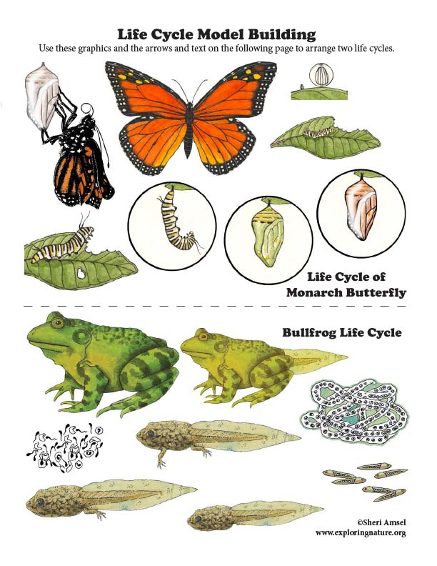 Life Cycle Model Building - Bullfrog and Butterfly