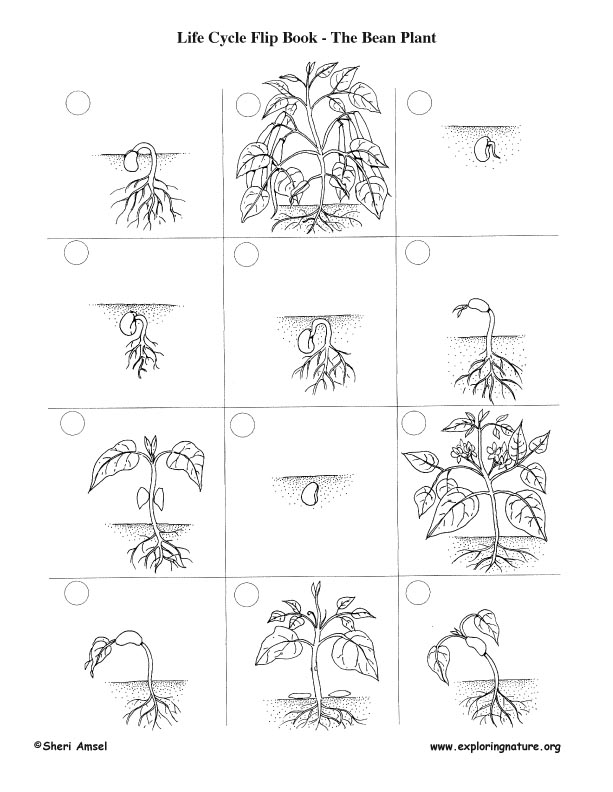 Detail on Lima Bean Clipart Worksheet Kindergarten