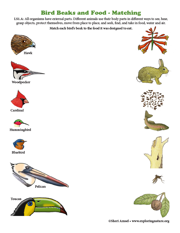 Match the Bird Beaks to Their Food (Color)