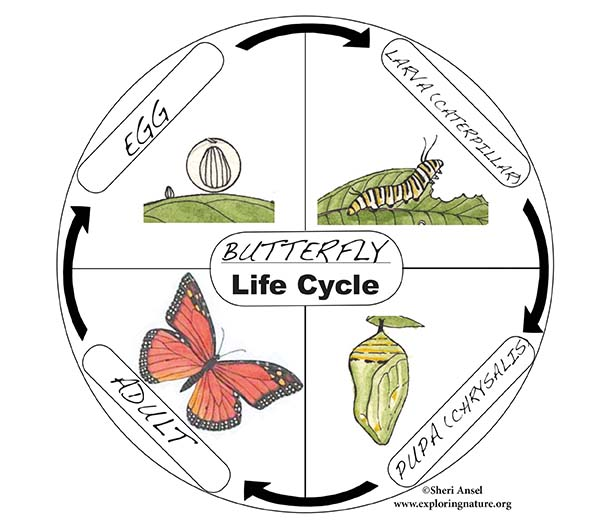 Paper Plate Life Cycles Activity