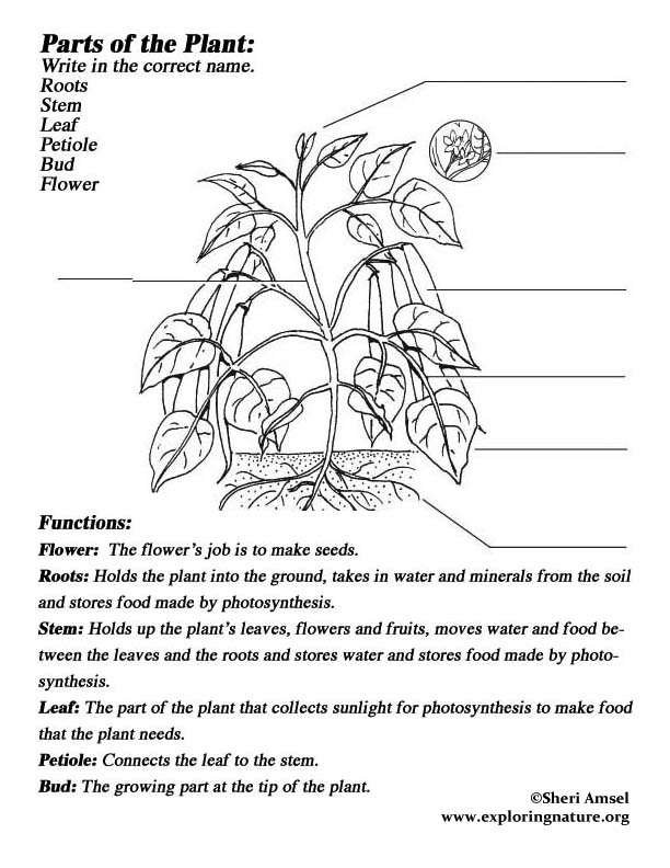 Parts of Plants Coloring Page http://printablecolouringpages.co.uk/?s=plants%20parts