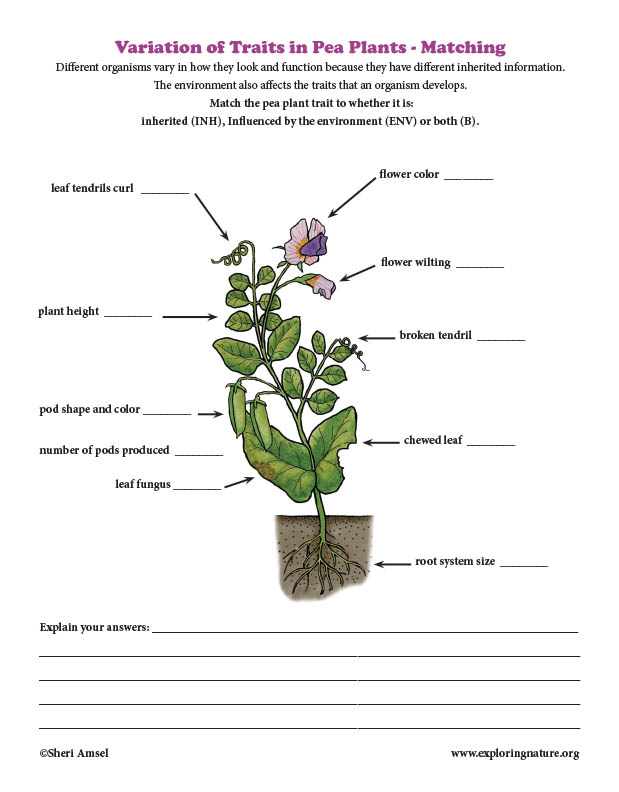 Variation of Traits in Pea Plants - Matching