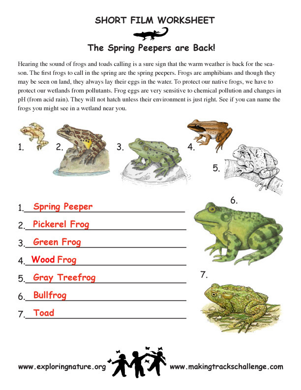 Peepers and Other Cool Amphibians – Amphibians Worksheet