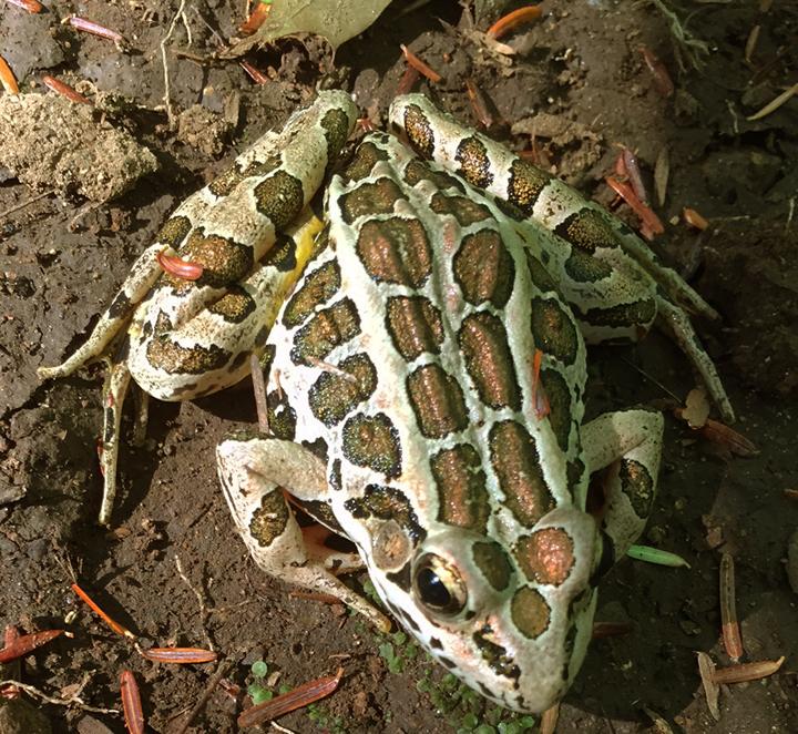 Frog (Pickerel)