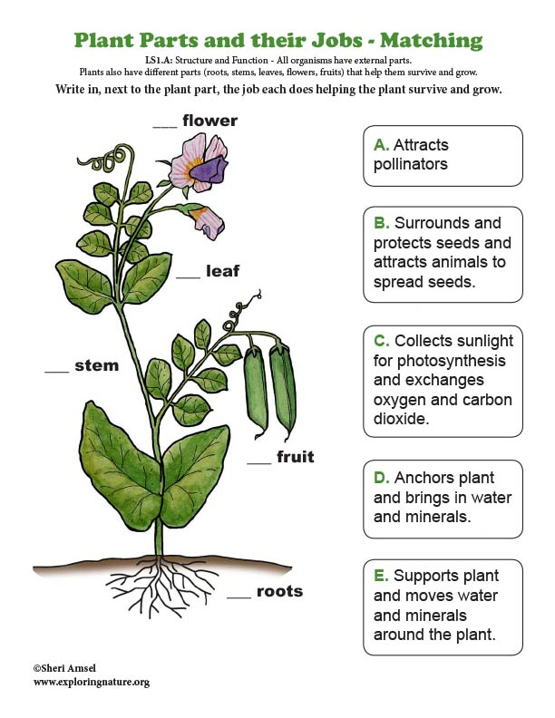 Plant Parts and their Jobs - Matching