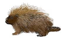 The Sharp Adaptation of Porcupines