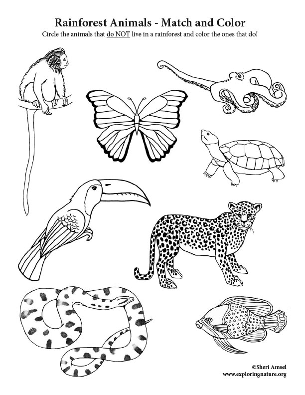 Rainforest Animals - Match and Color