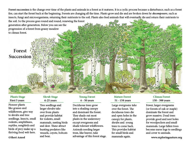 Forest Succession (with Text) Mini-Poster