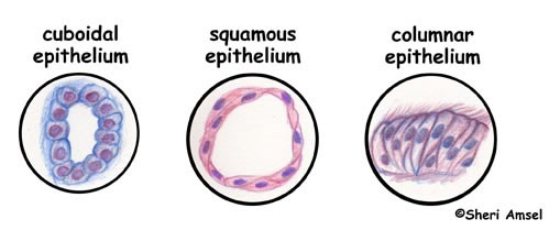Tissues - Epithelium, Muscle, Connective Tissue and Nervous Tissue.