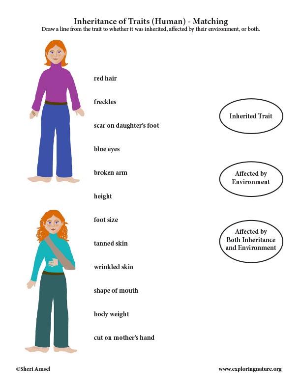 Inheritance of Traits (Human) - Matching